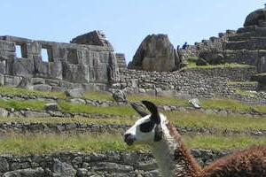 Llama Perú